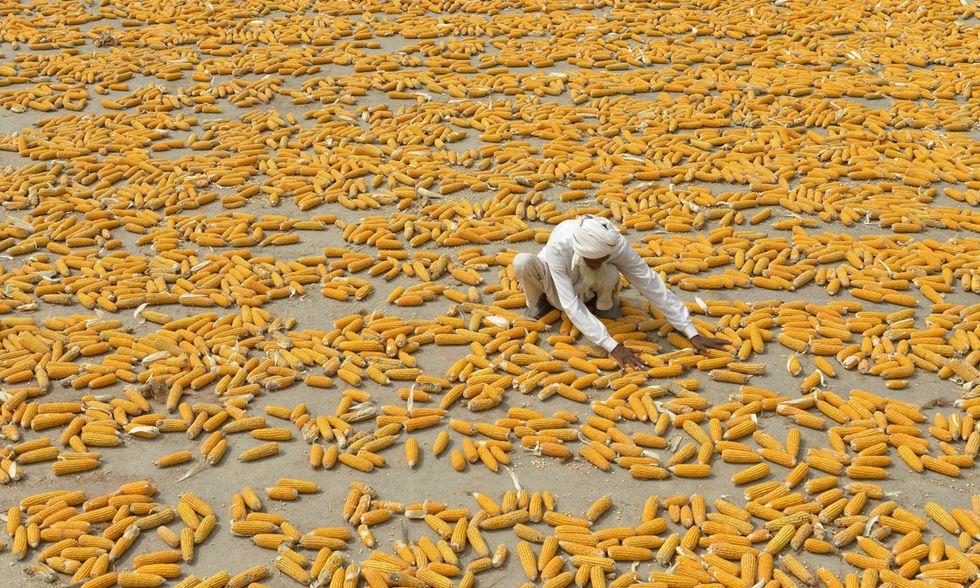 Pannocchie di grano al sole