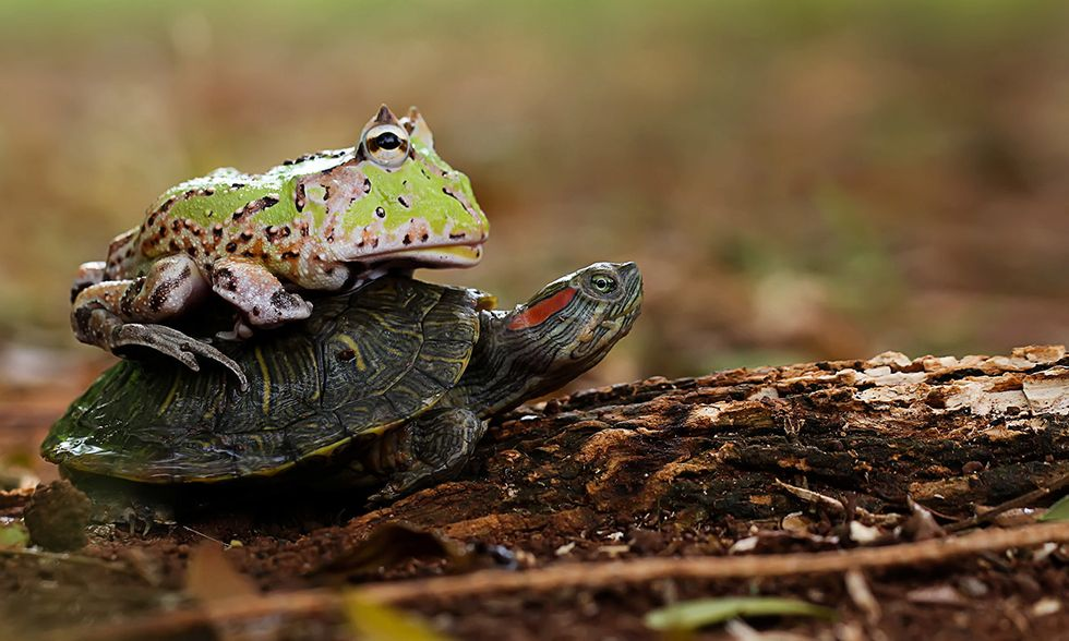 La rana cornuta e la tartaruga dalle orecchie rosse