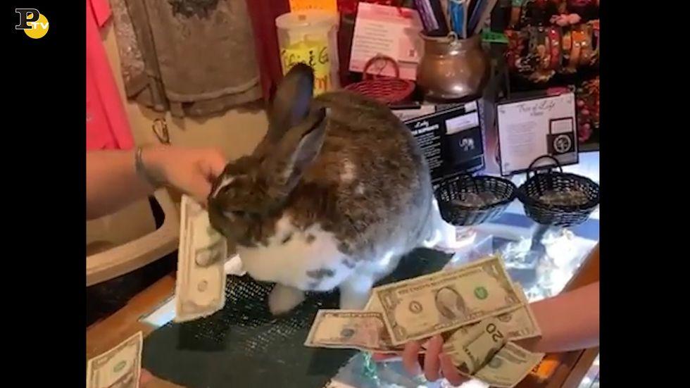 Coniglio fa da assistente alla commessa per dare il resto al cliente