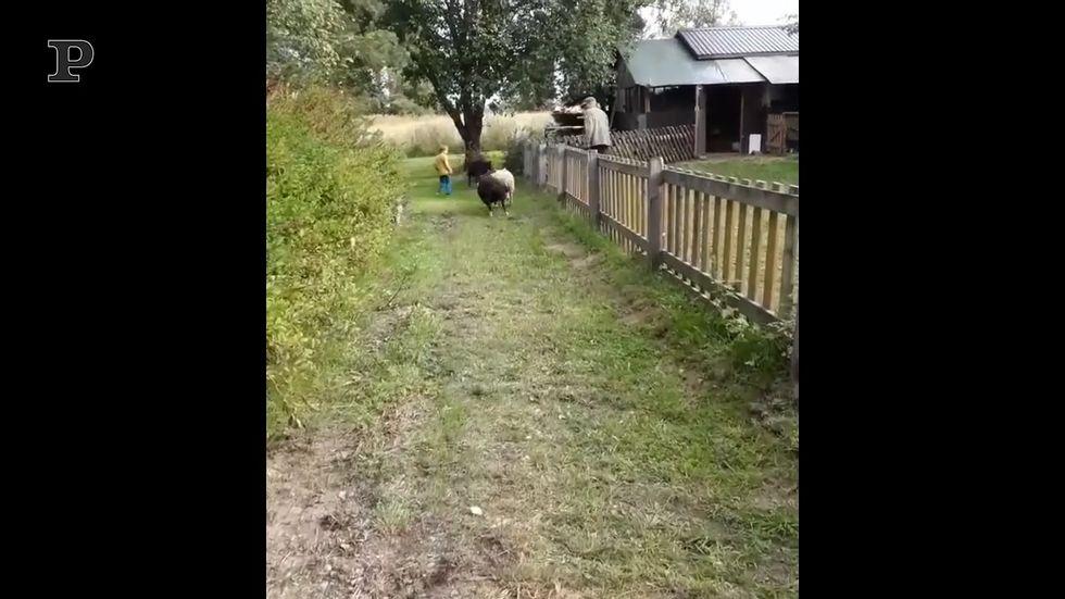 """""""Pista!"""", nessuno ferma la corsa di questa pecorella"""