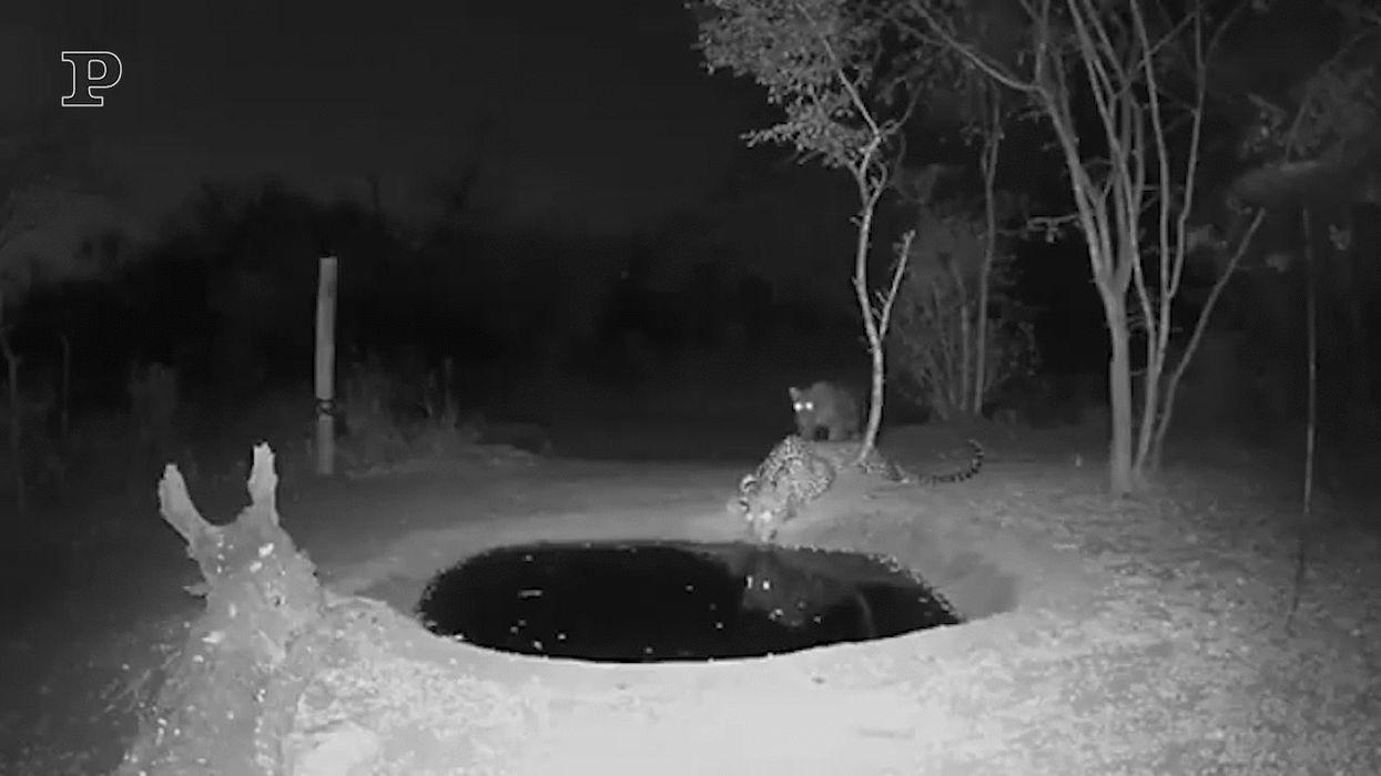 Sudafrica, lo spavento del leopardo sorpreso mentre beve