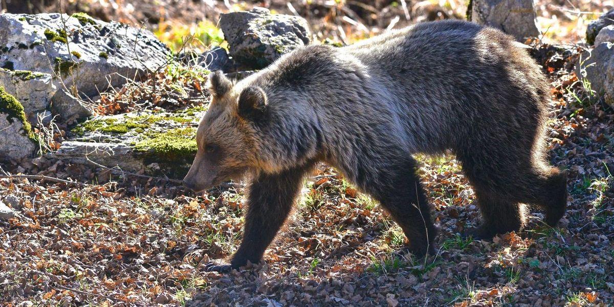 orso-apertura