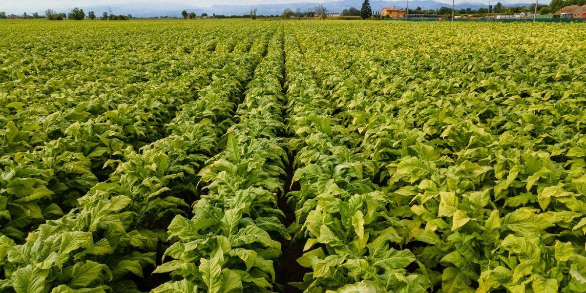 campi-tabacco