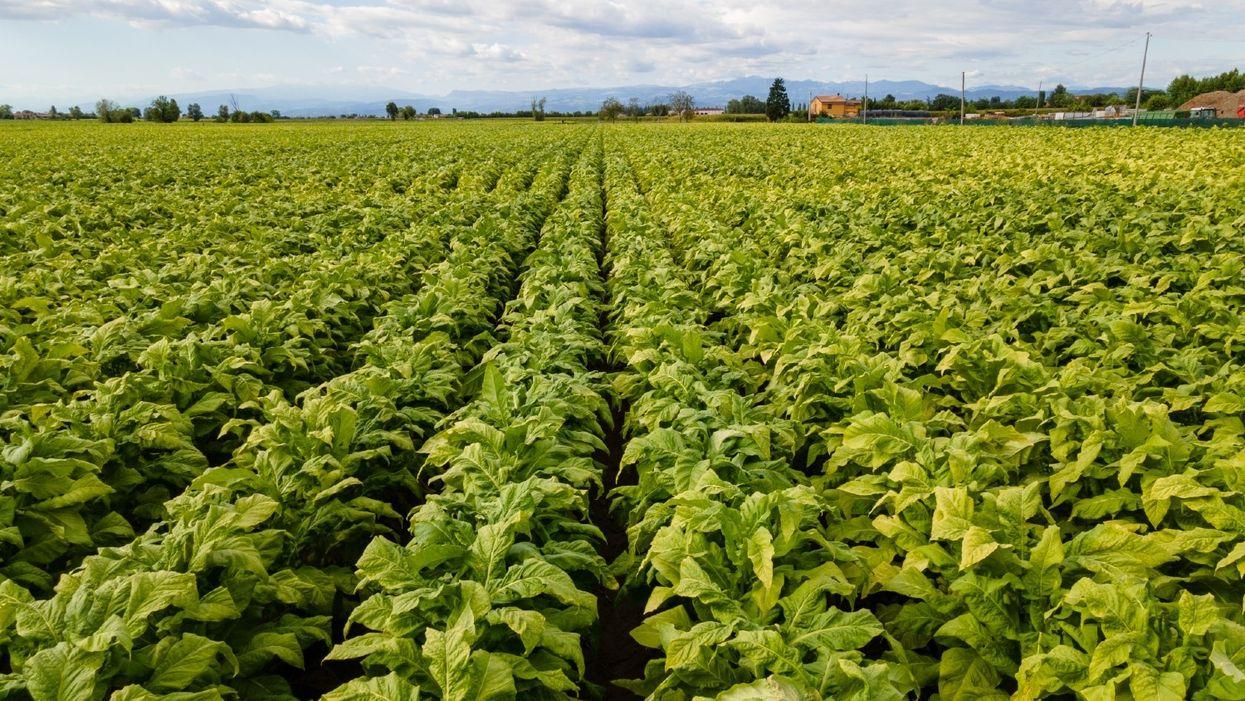 Filiera del tabacco, un investimento fino a 100 milioni di euro per il 2021