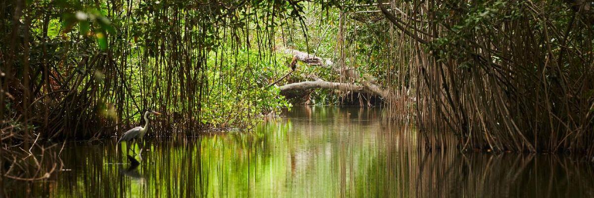 apple-mangrovie