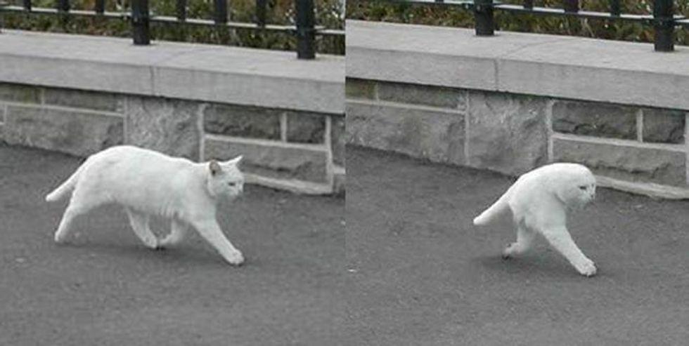 Il mistero del mezzo gatto fa impazzire il web