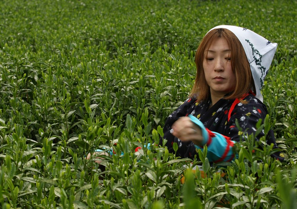 La raccolta del tè verde in Giappone