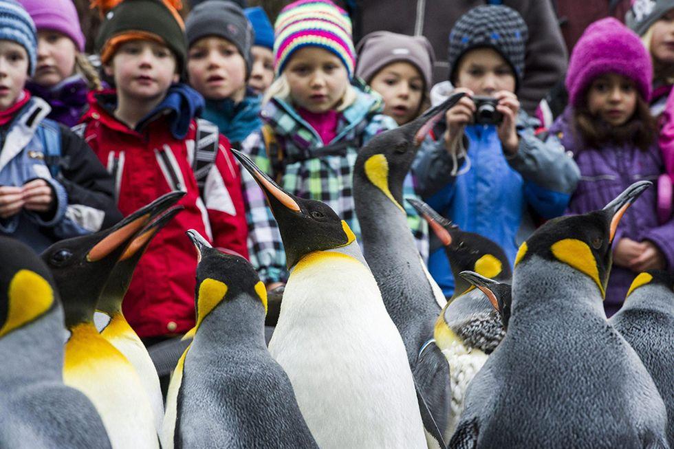 Parata di pinguini in Svizzera e altre foto del giorno, 26.11.2013