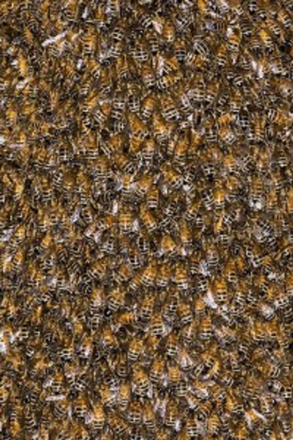 La triste vita delle api