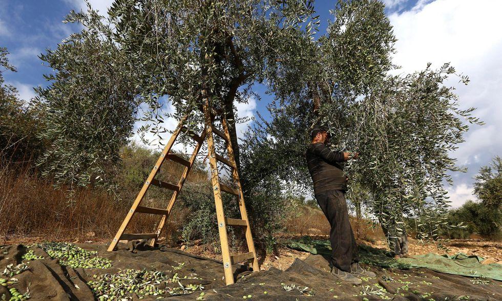 La raccolta delle olive in Cisgiordania