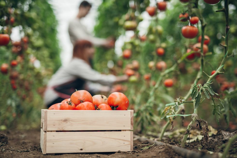 Raccolta-pomodori