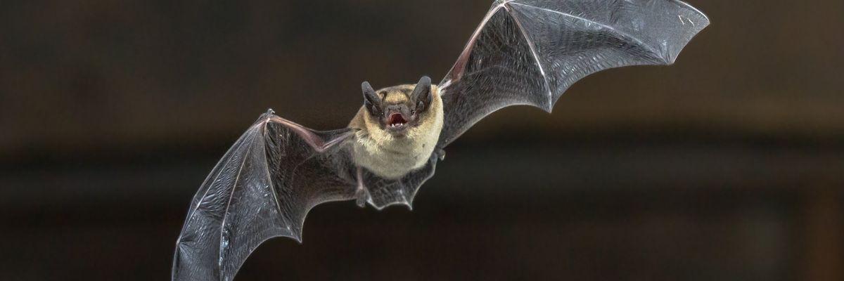Coronavirus: tutto è nato da un pipistrello. I segreti di un animale che non si ammala