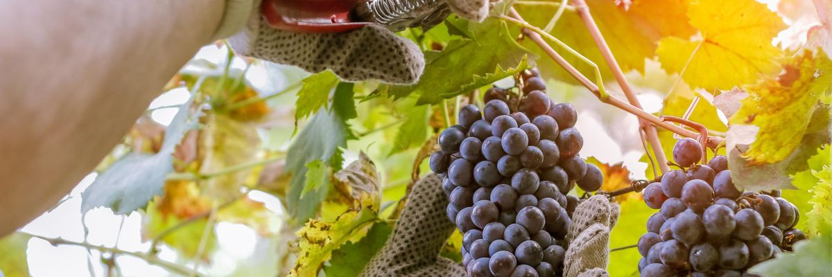 Arriva l'autunno e in Toscana è tempo di vendemmia