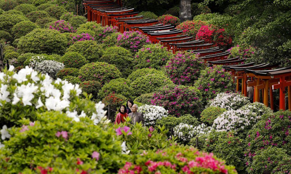 La fioritura delle azalee a Tokyo